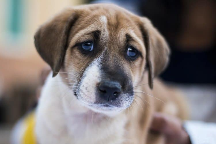 Beagle Separation Anxiety: What Is It and How Can You Manage It?